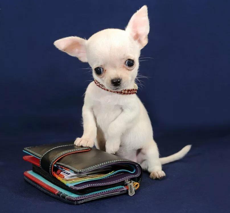 результатах картинки самая маленькая порода собак в мире расстраивает, что этом