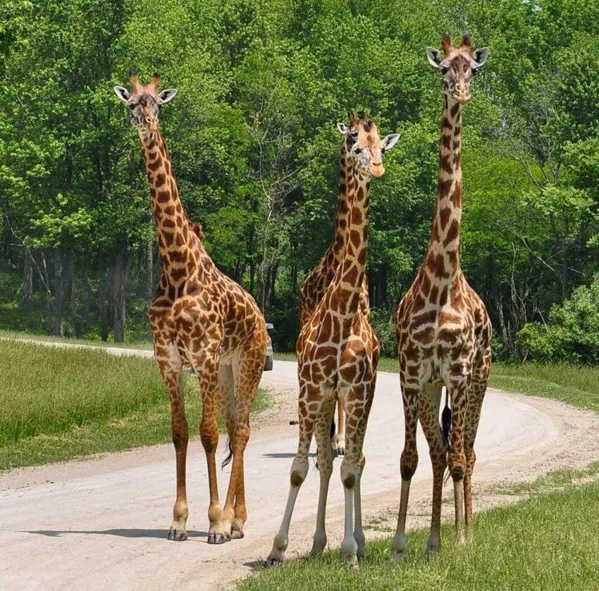 фотки и картинки жирафа прихожую позволяет