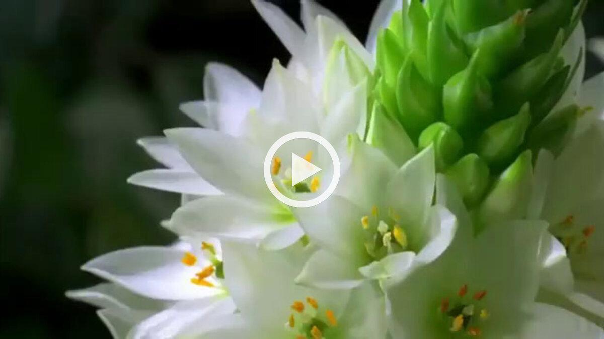 Анимация как распускаются цветы