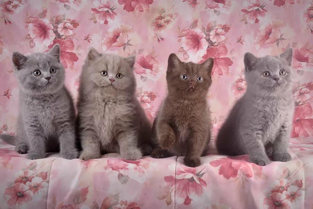 британские кошки коты и котята показать фотографии