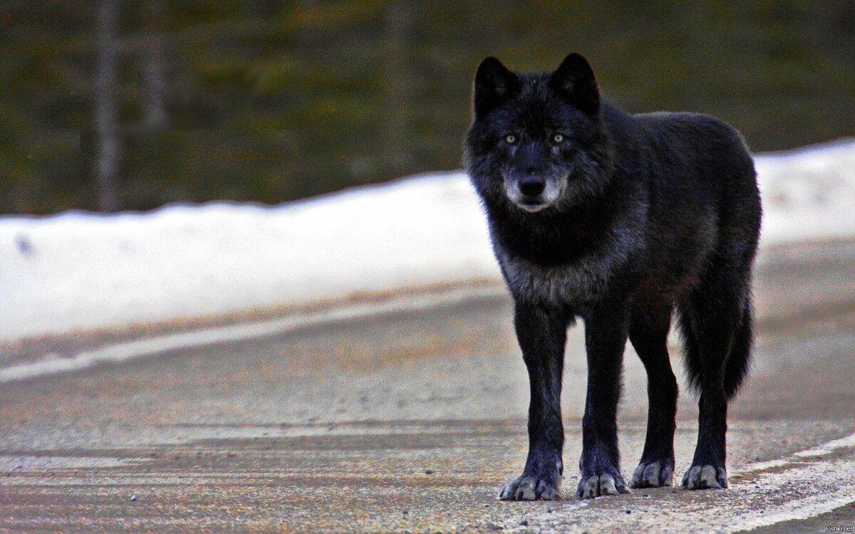 запросу аренда канадский волк фото изобрел колесо