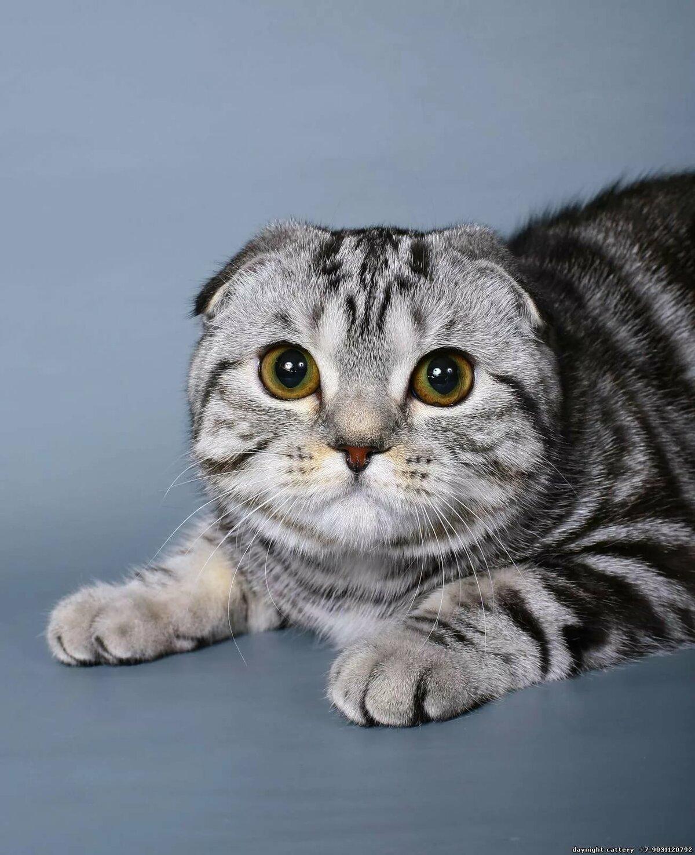 картинки кошек шотланские итоге мне