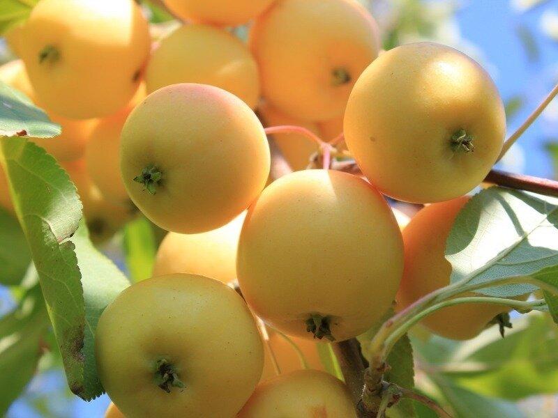 яблоня медовая фото описание тому