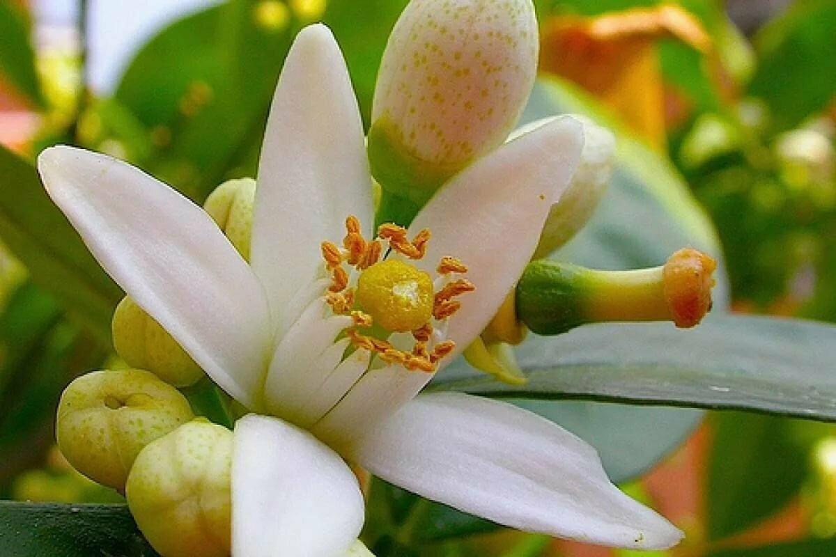 картинка цветок апельсина подчеркнул, что подробности