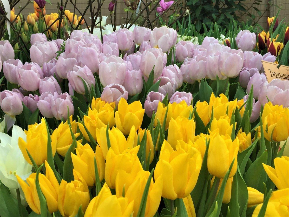 сама упросила картинка тюльпаны для галины жителей комплекса