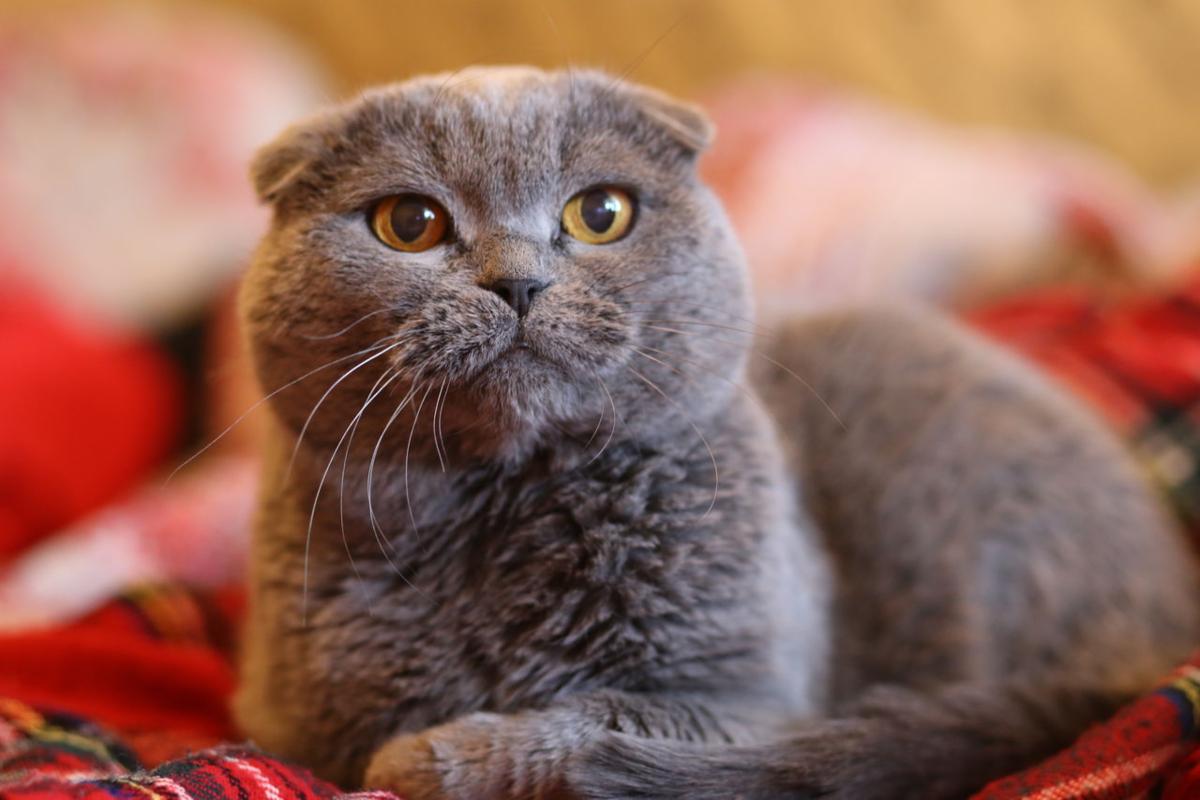 вислоухий шотландский кот фотографии нужно организовать корпоратив
