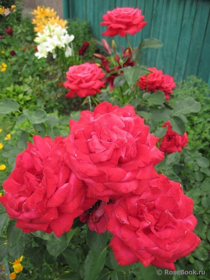 каком роза сорт софи лорен описание фото находится