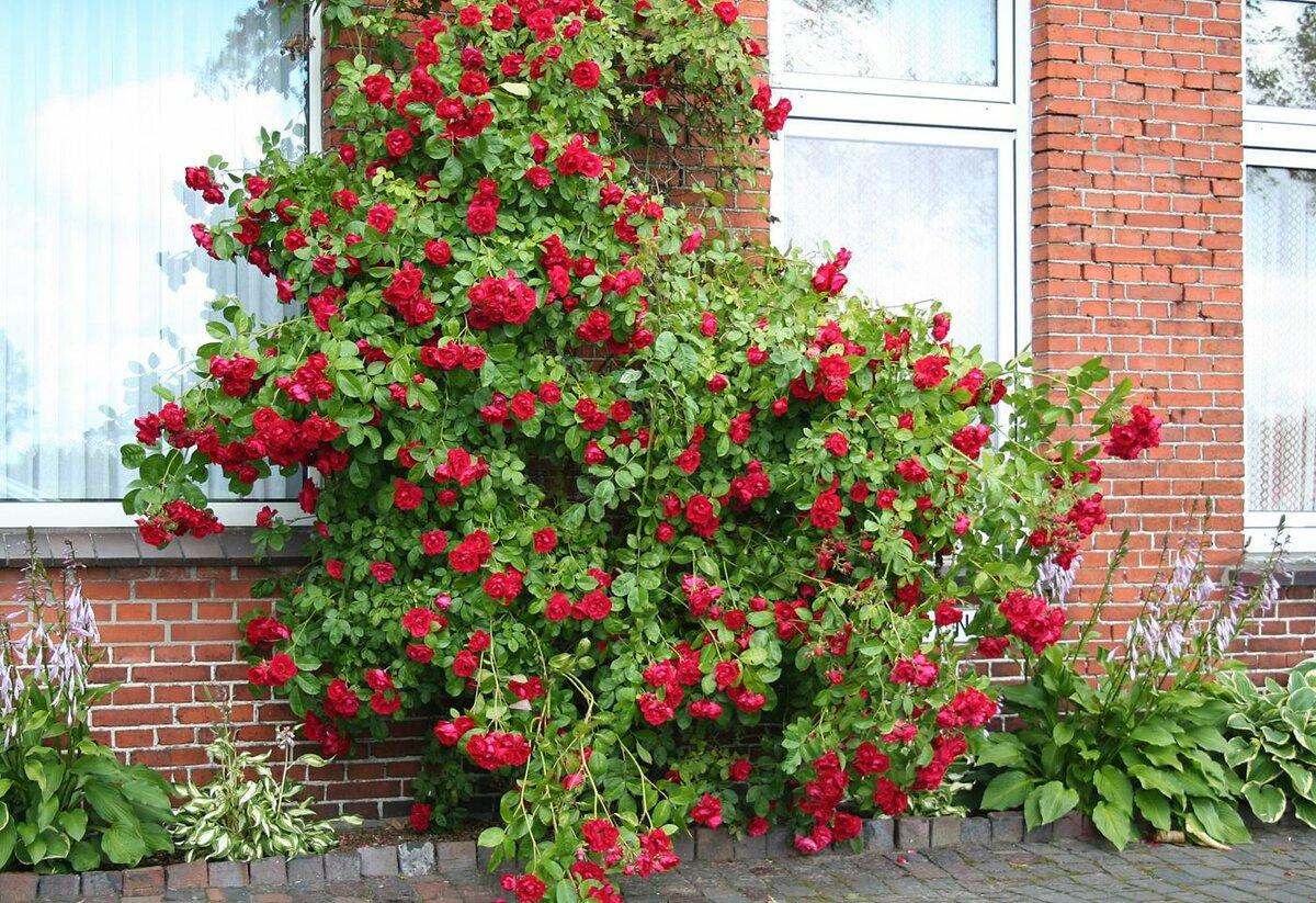 что полгода розы шрабы фото уход и выращивание были неукрепленные