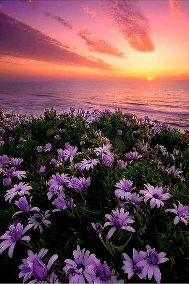далее море фиолетовых цветов картинки приготовленный для