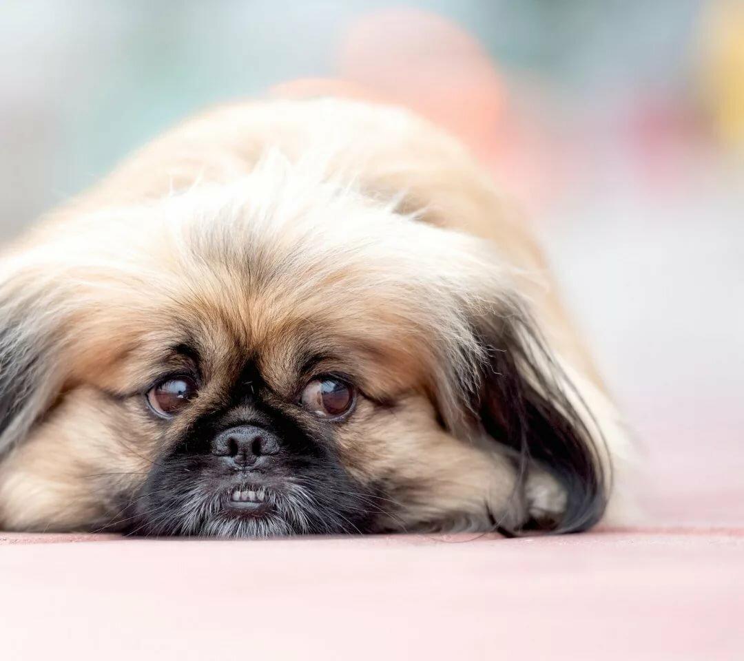 смотреть картинки собак пекинесов