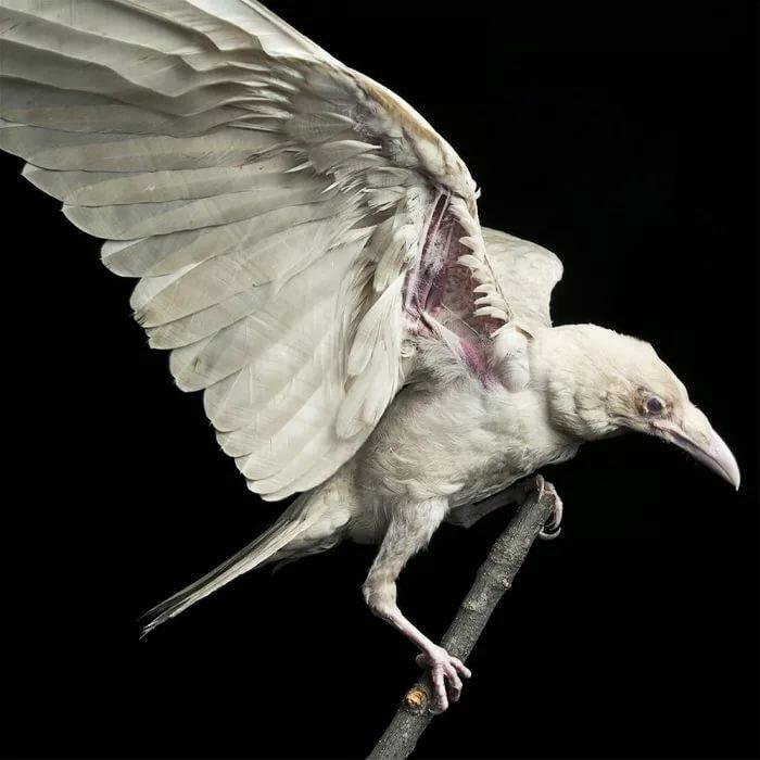 Картинка белого ворона
