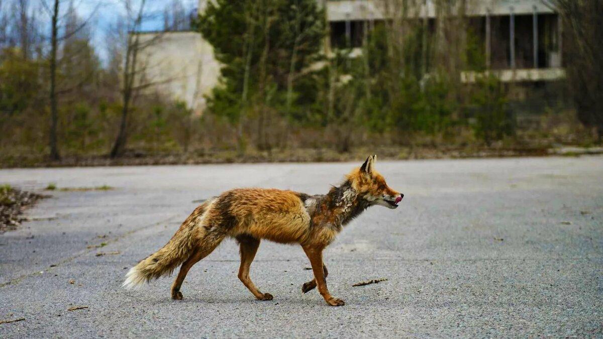 Чернобыль в картинках животные и люди