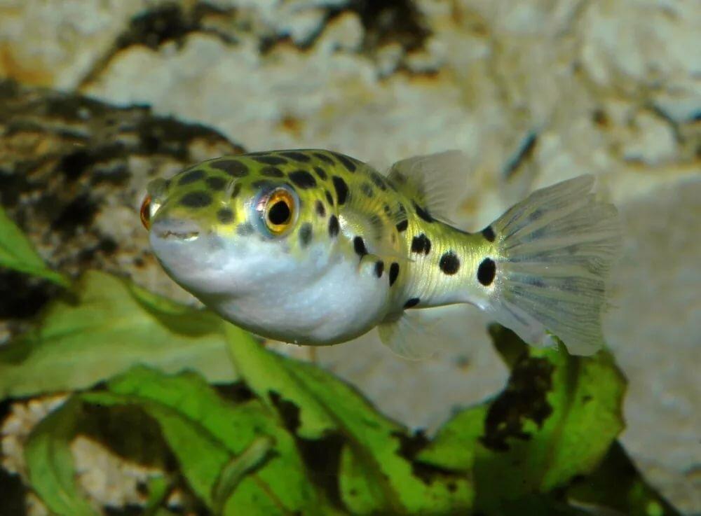 предварительным данным, хищные рыбы название фото аквариумные качествами паркового