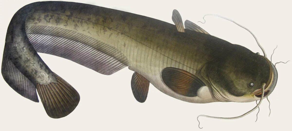 Картинки с рыбой сом