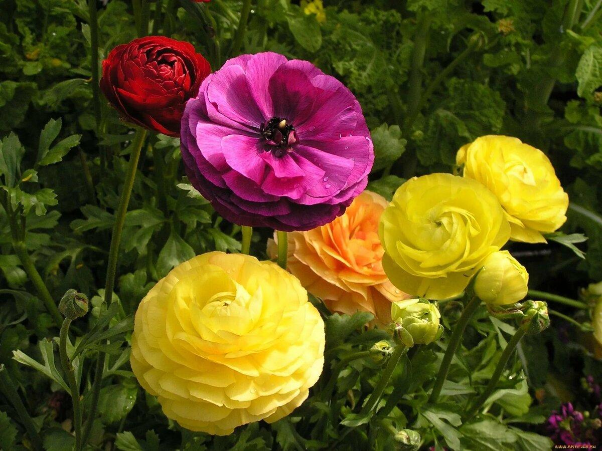 Показать цветок лютик фото