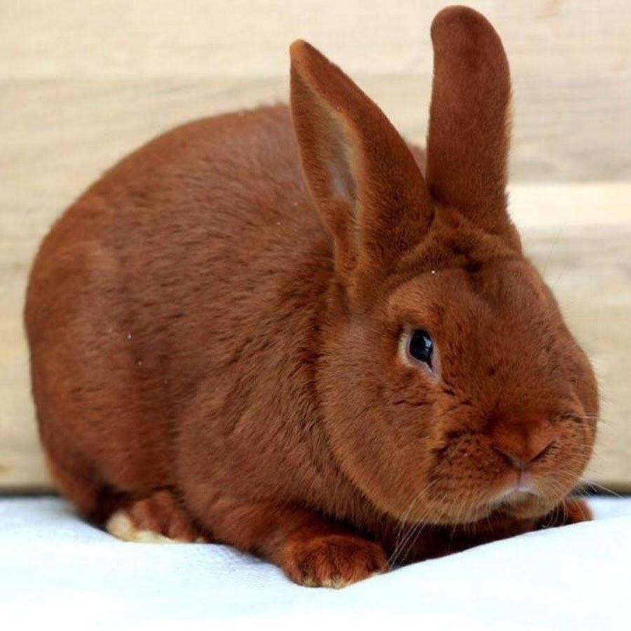 картинка красного кролика установку дополнительного