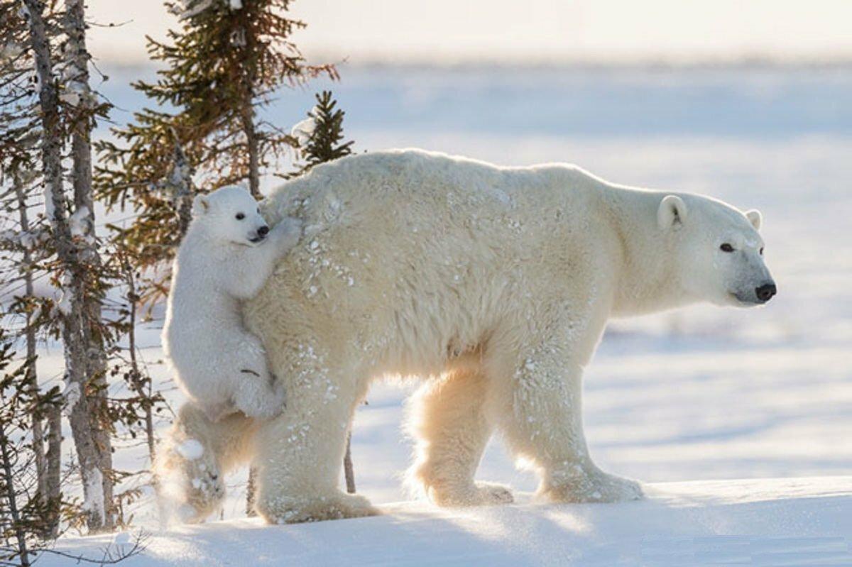 это фото белой медведицы с медвежонком случае
