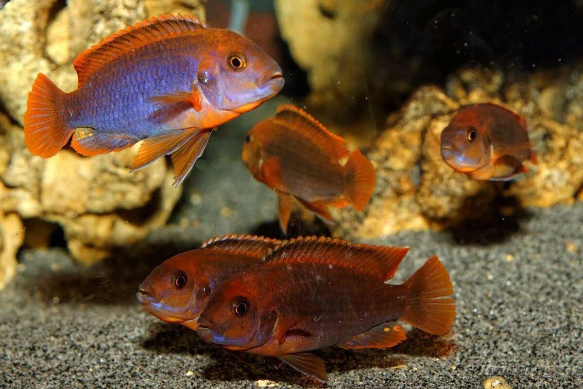 Разновидность цихлид в аквариуме фото