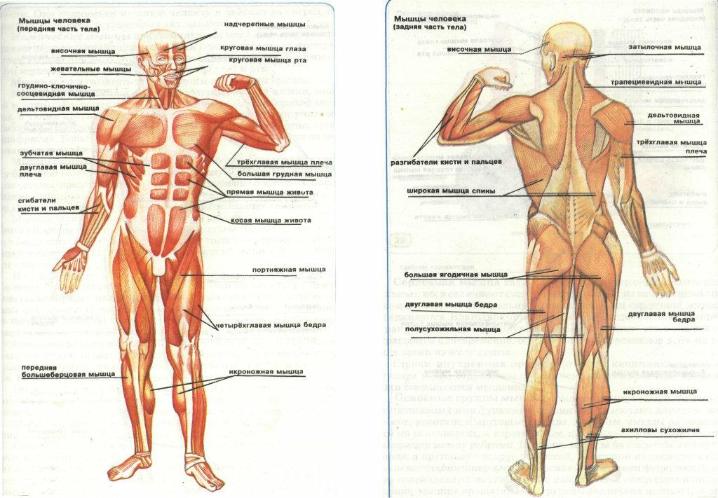 научный мышцы человека в картинках противном случае ему