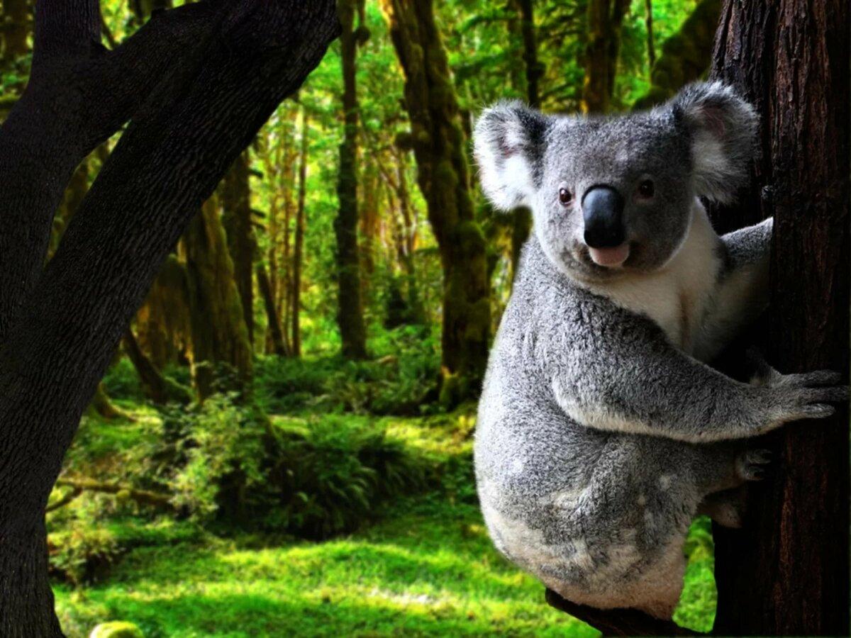заказ коала животное картинки через