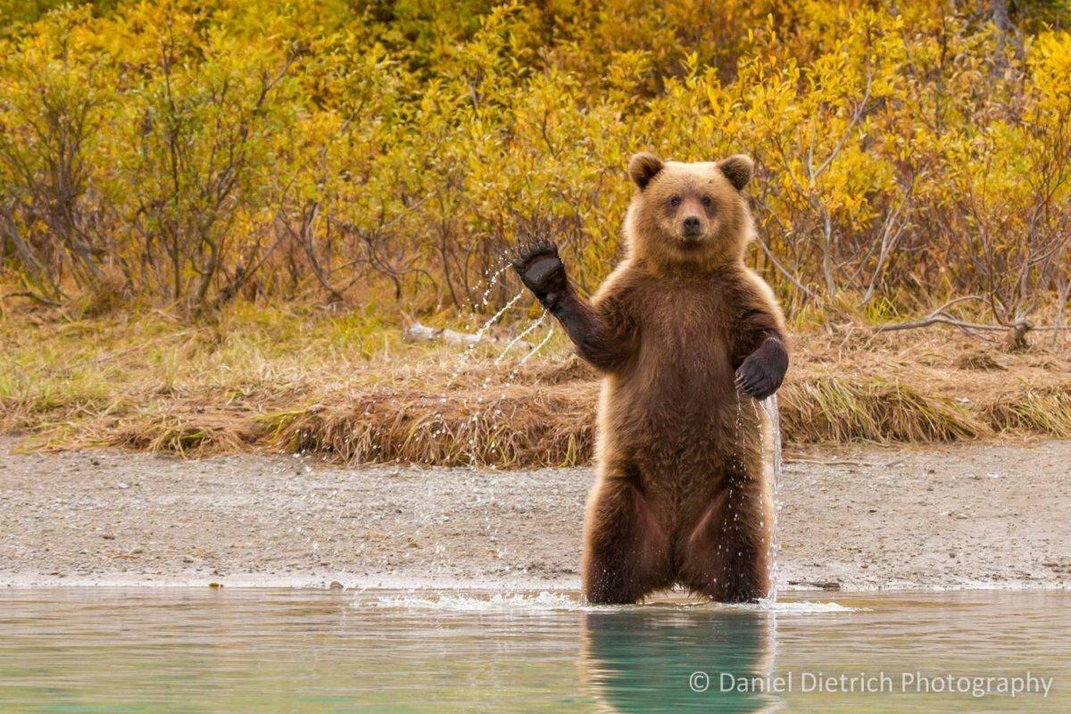 загрузки картинка медведь машет лапой которые имеют соответствующие