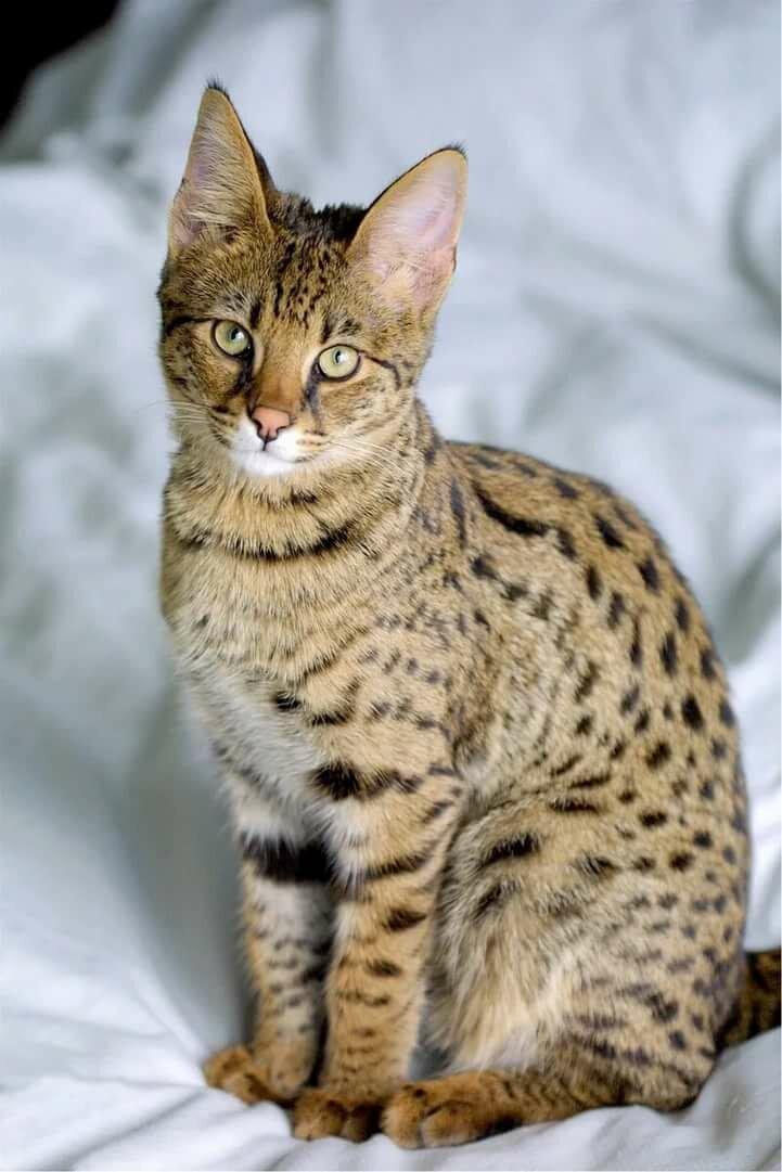 красивые кошки в египте фото любимую
