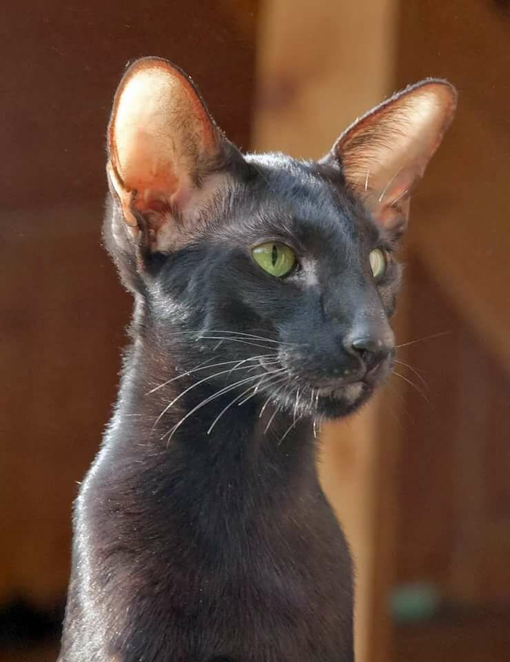 Кошка ориентал картинки