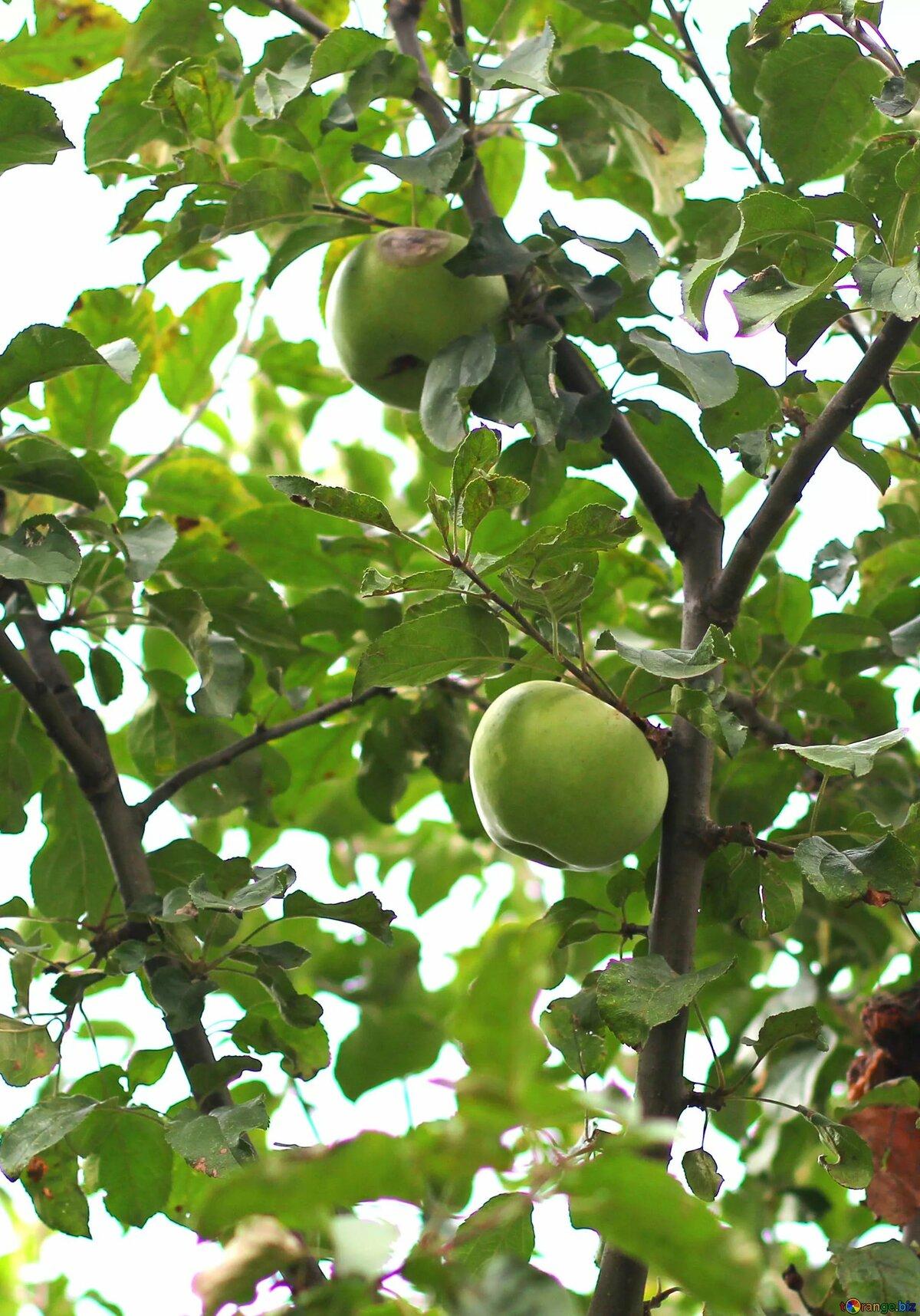 Картинки как растут яблоки
