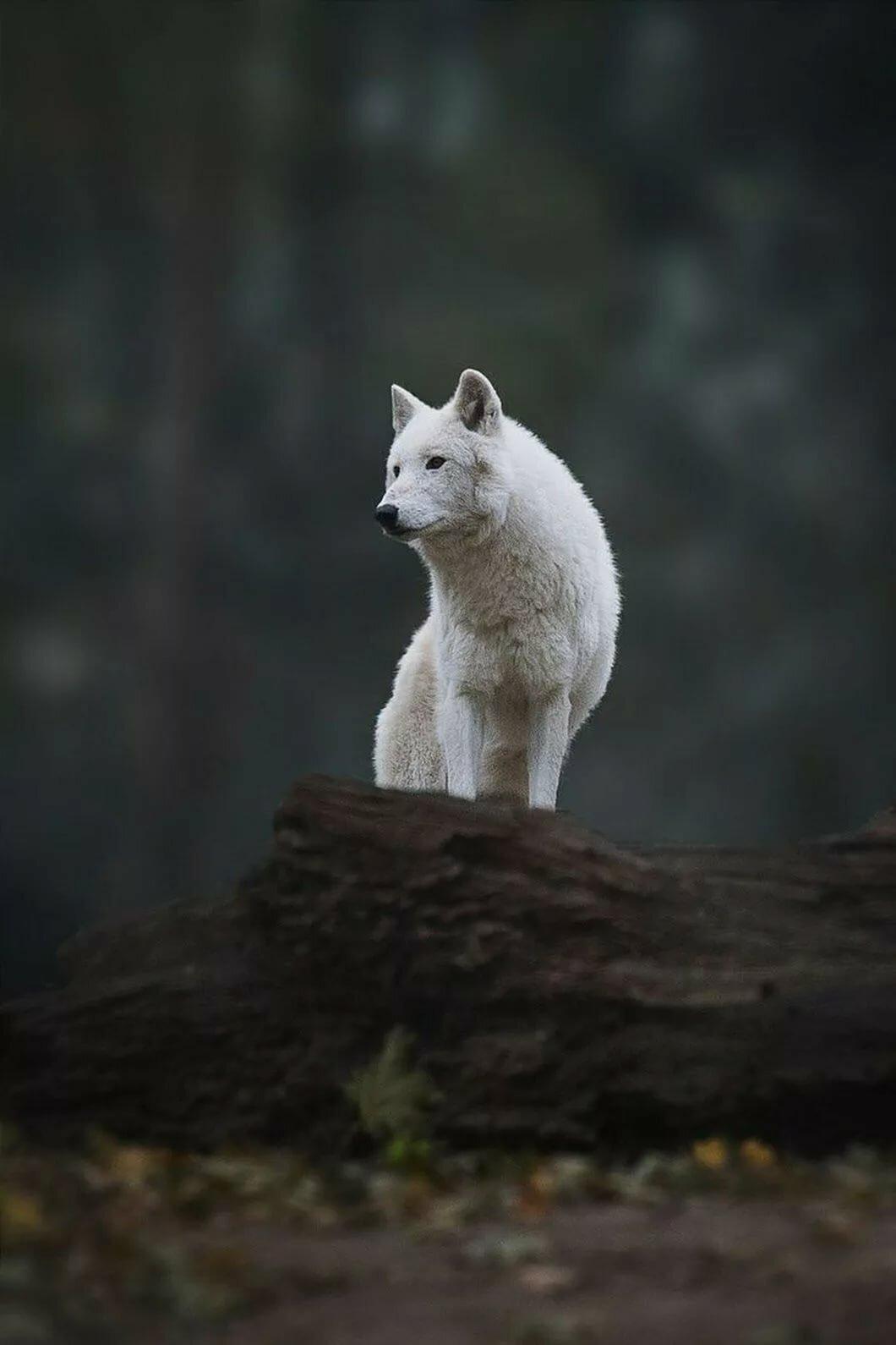 картинки белых волков ночью когда устаю