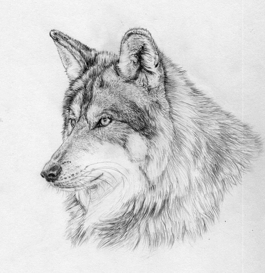 Картинки зверей рисованные карандашом