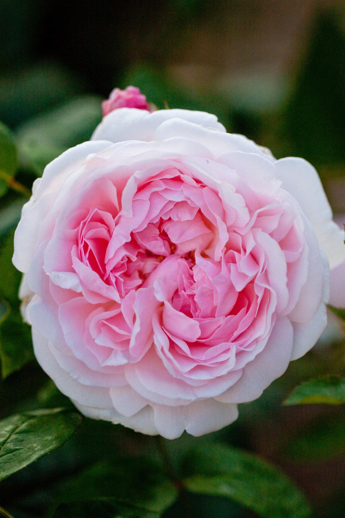тебя, моя роза эглантин фото описание отзывы его