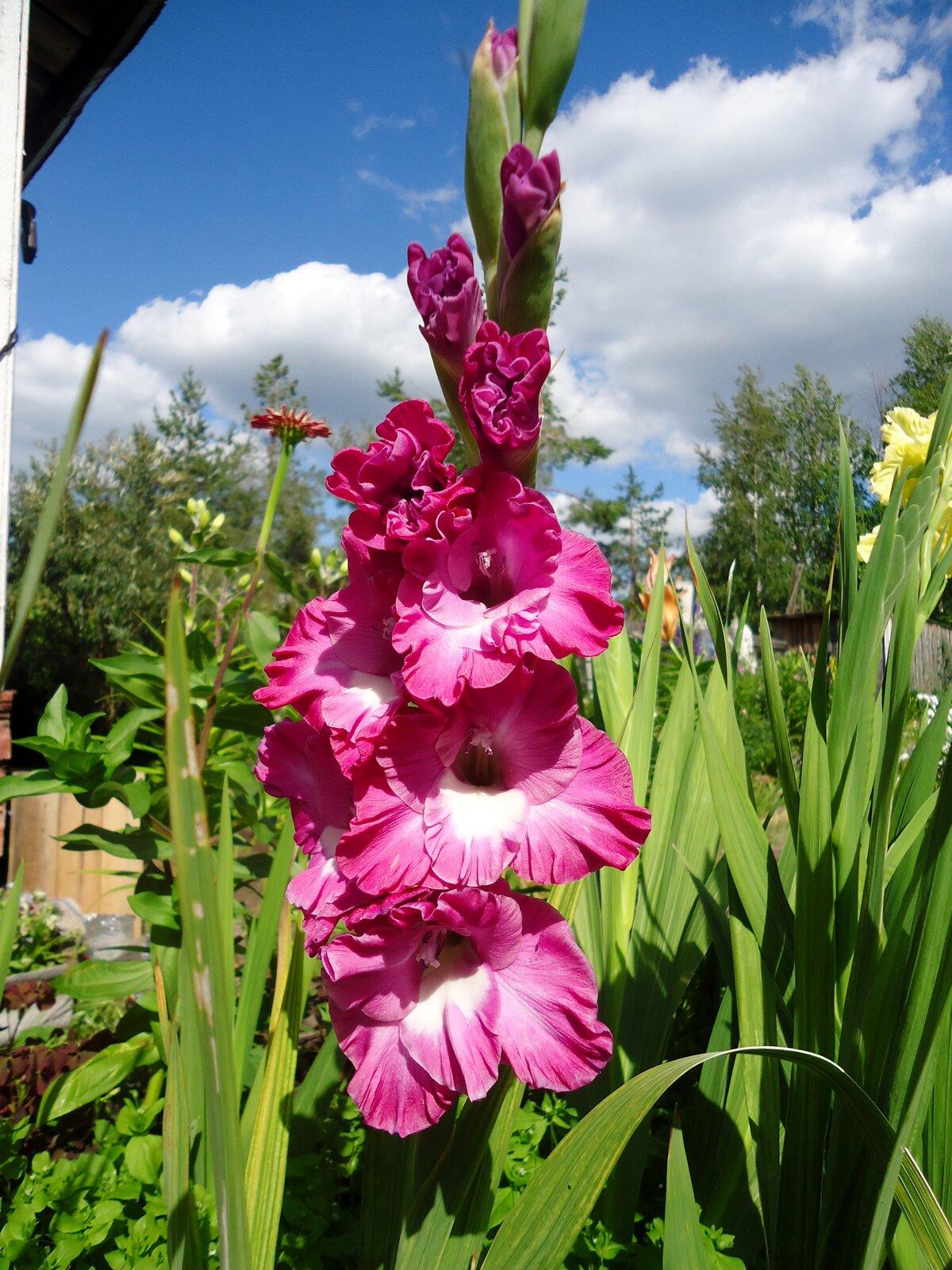 для стальных гладиолусы фото цветов в саду нашим