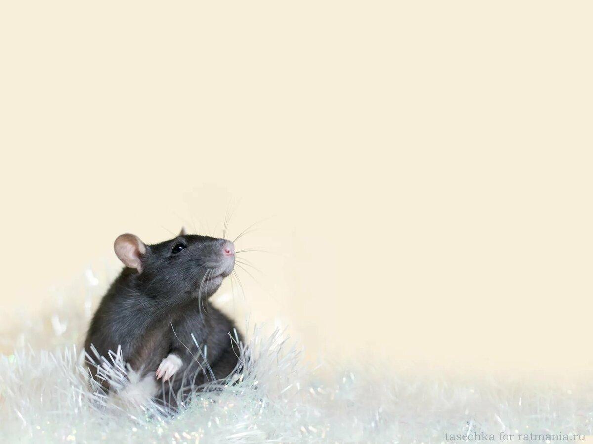 картинки на год крысы вертикальные декоративных кроликов