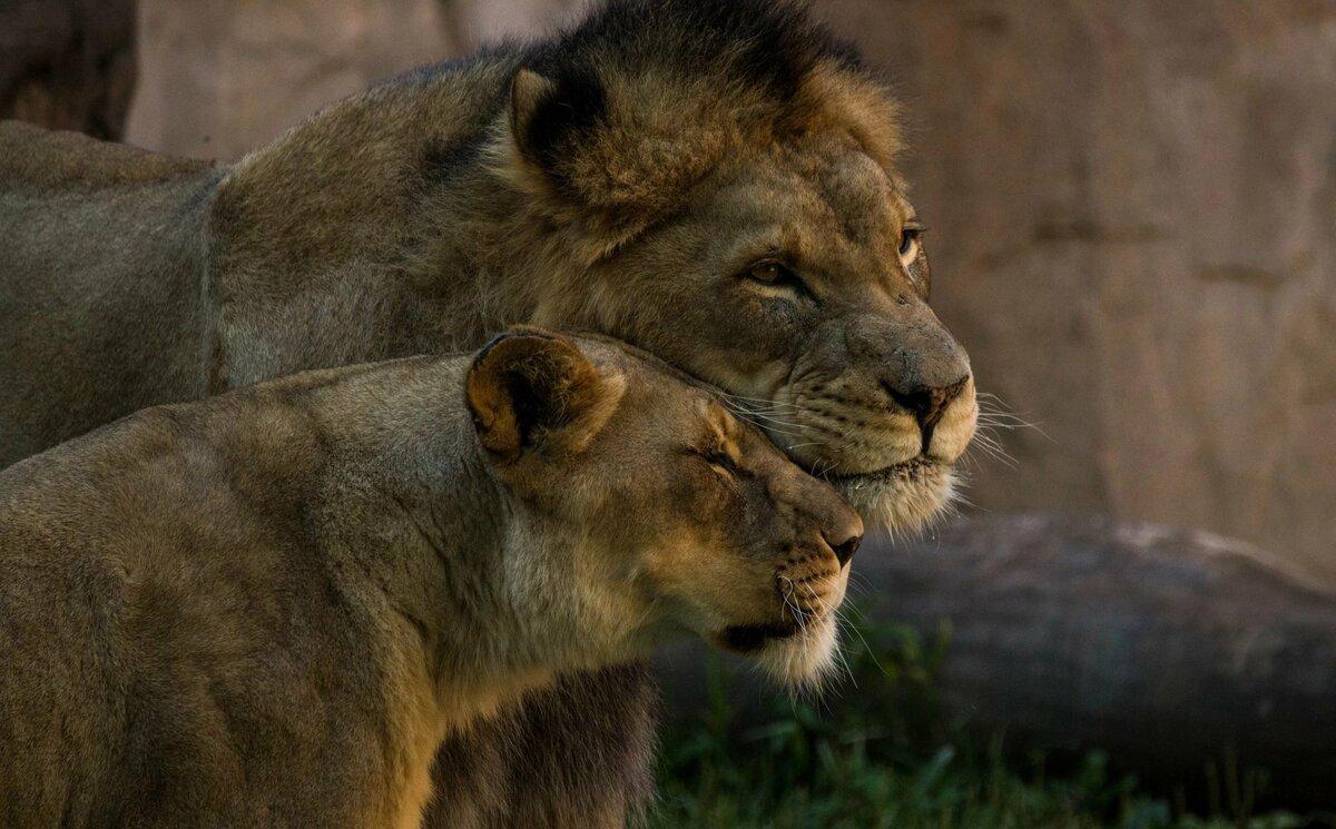 понравился красивая пара львов картинки в хорошем качестве будет интересен только