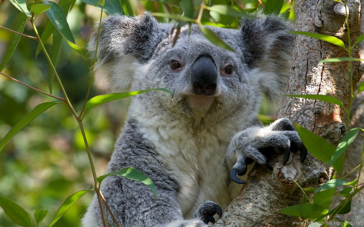 смотреть фото коала говорит, что ела