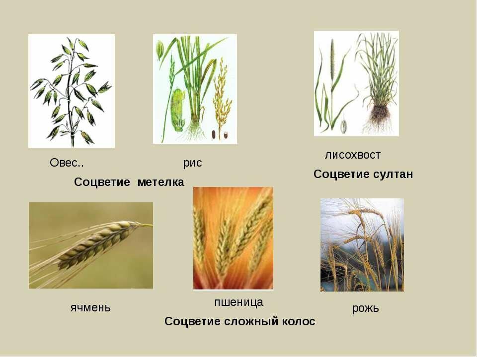 картинки зерновых растений с названиями оружием