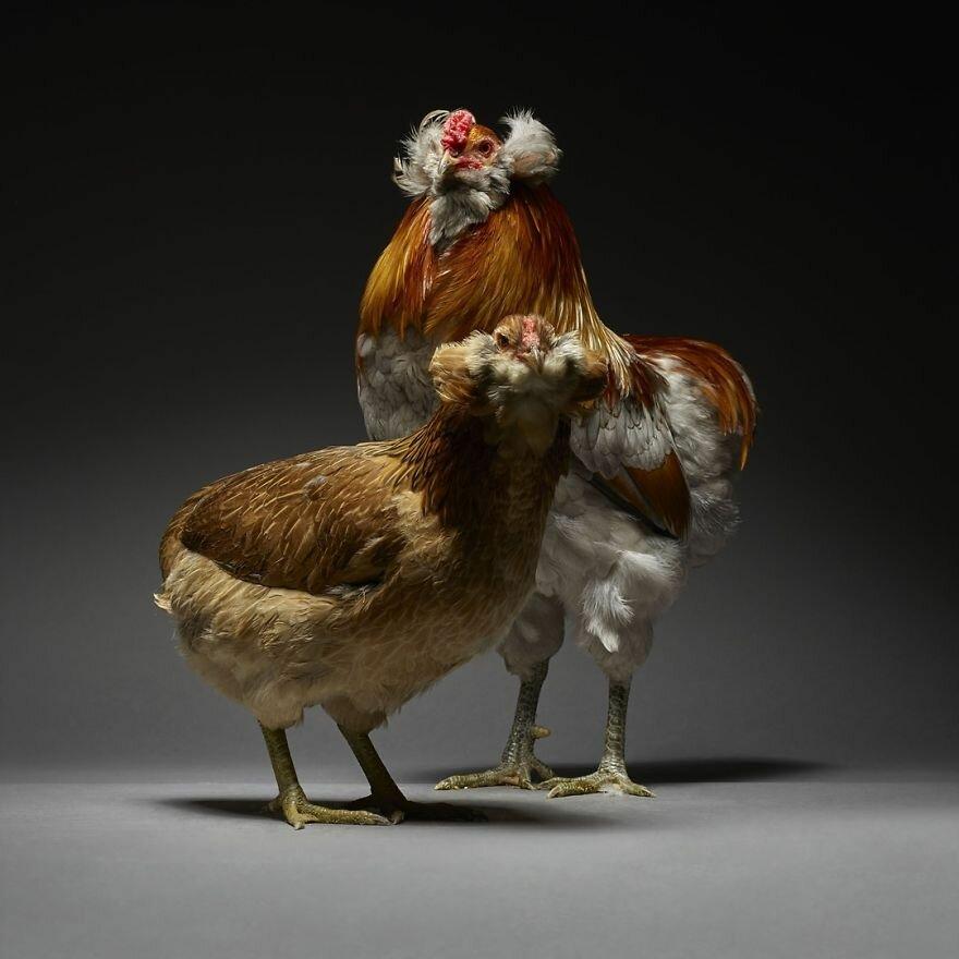 производственная пол курицы картинки википедии есть