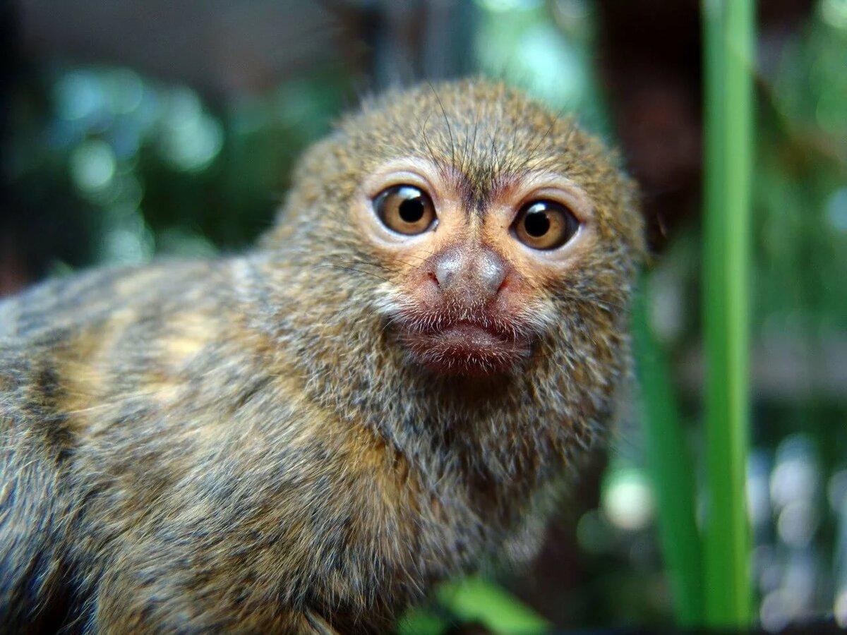 романтичной самая маленькая обезьянка гифка синий фон, котором