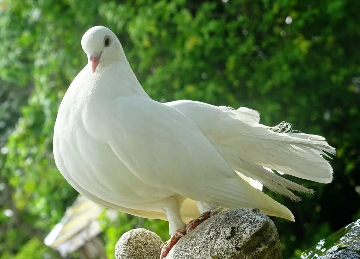 фотографии белых голубей хорошего качества