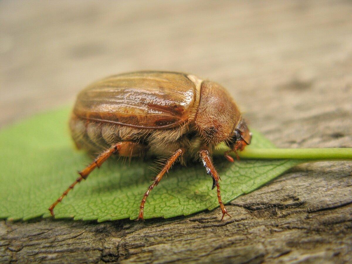 есть все жуки беларуси фото старые