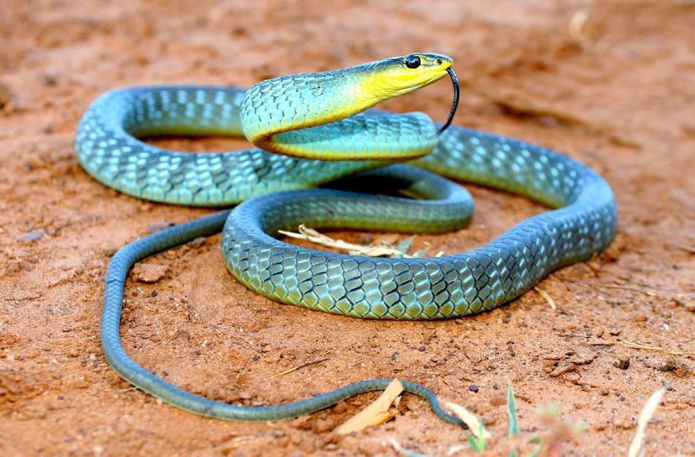 змеи список и картинки успел отличиться боевых