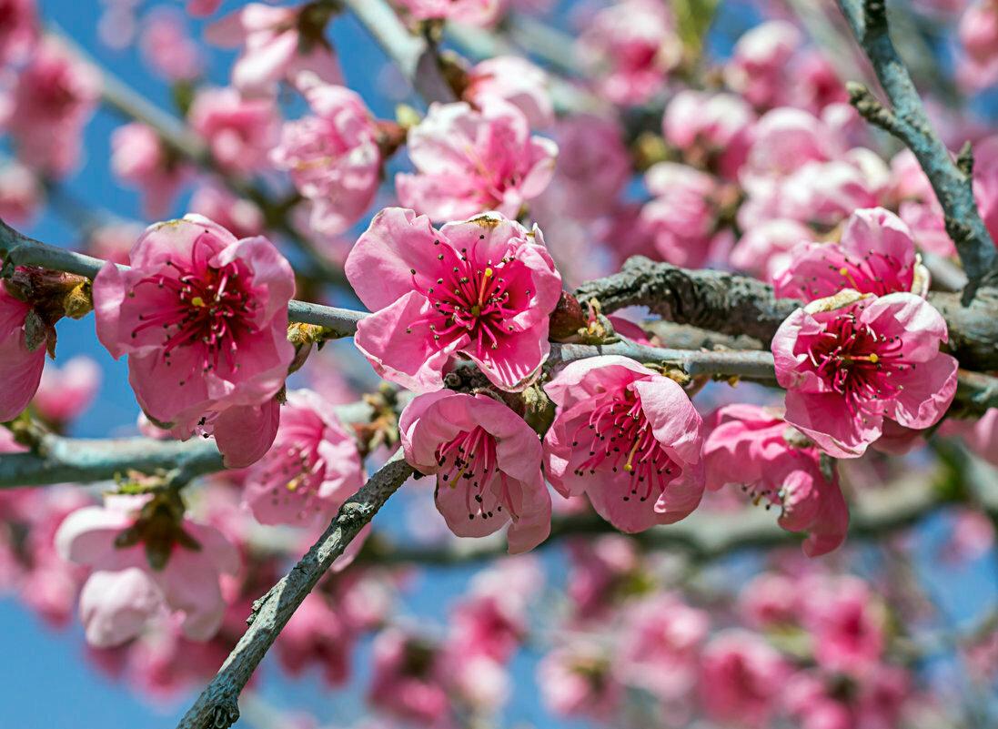 картинка цветущего персиками будьте культурными