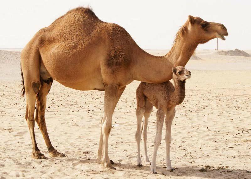 Смешные картинки про верблюдов