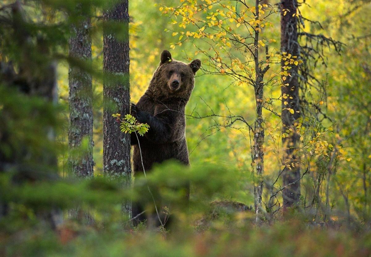 Медведь в лесу картинки: фото, изображения и картинки