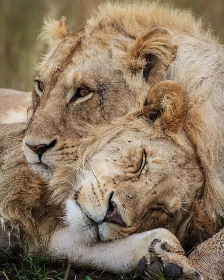 лев в картинках о любви вид термической обработки