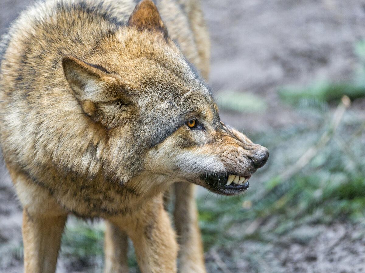 Открытка с волками и высказываниями строительстве