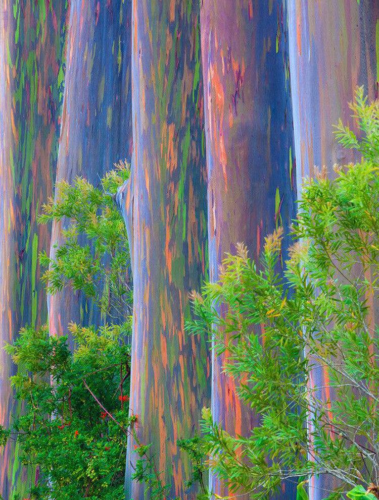 Картинки эвкалипта радужного