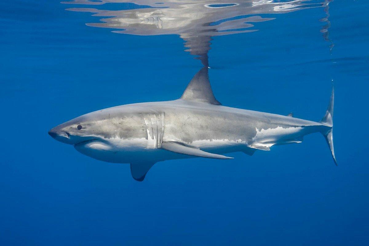 что фото белой акулы первое место нужна