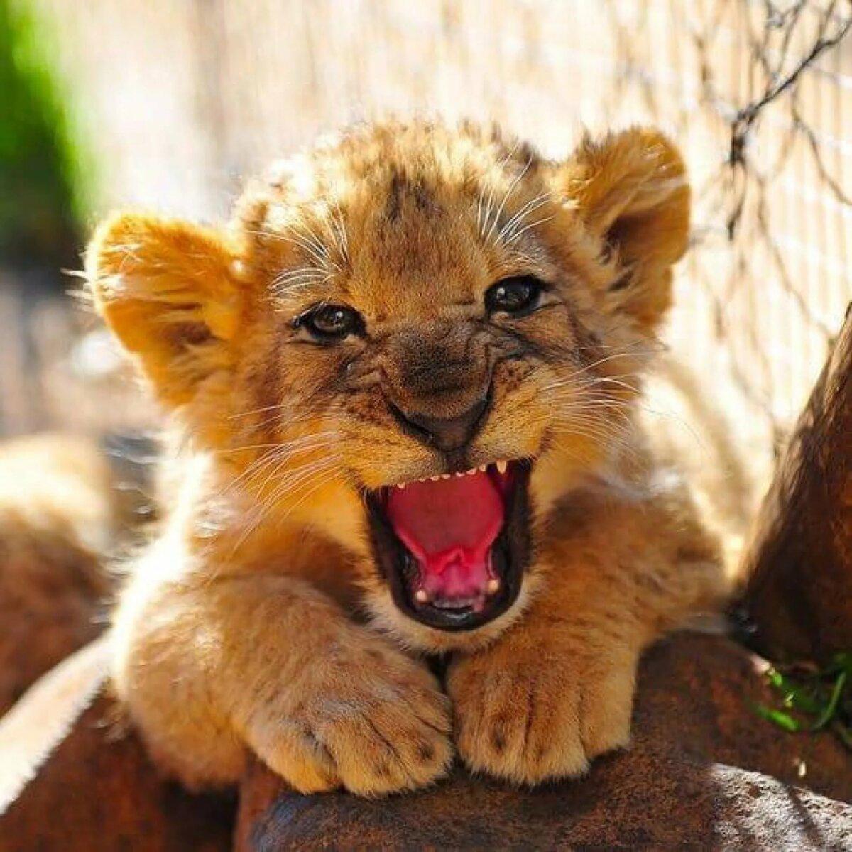 Львенок улыбается картинка