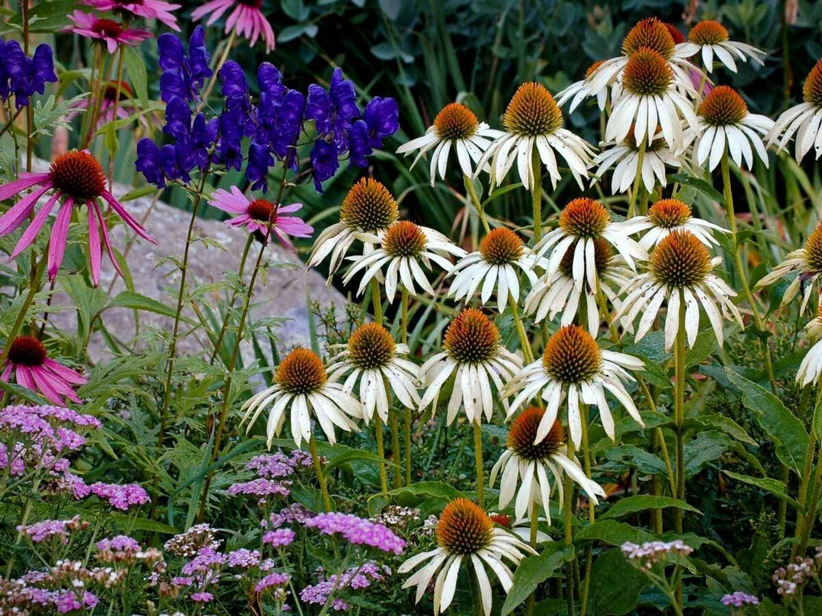 Цветы эхинацея посадка и уход фото